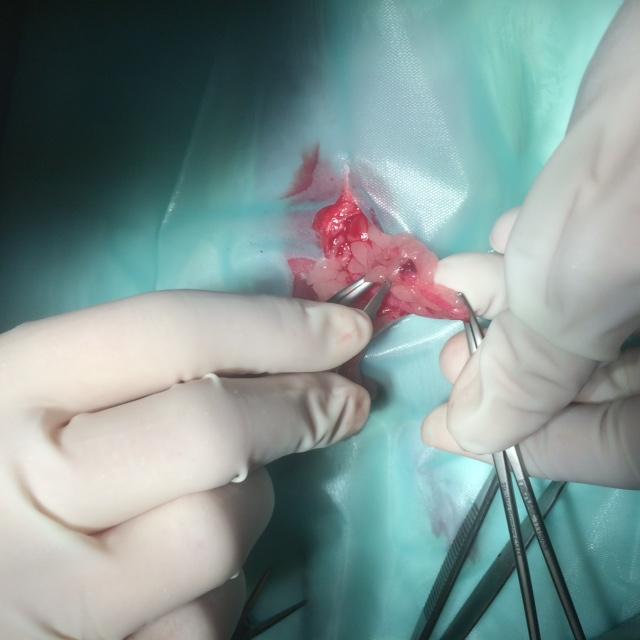 sterilisatie-rat-1
